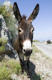 Het gezicht van de ezel Stock Fotografie