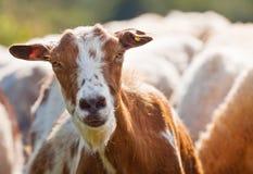 Het gezicht van de geit Stock Fotografie