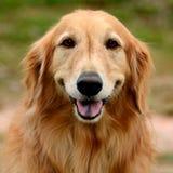 Het gezicht van de golden retrieverhond Royalty-vrije Stock Afbeelding
