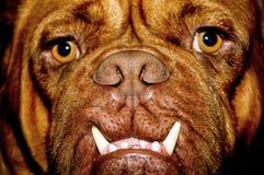 Het gezicht van de hond Royalty-vrije Stock Afbeeldingen