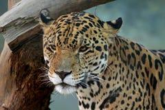 Het gezicht van de jaguar Stock Foto's