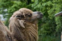 Het Gezicht van de kameel Royalty-vrije Stock Fotografie