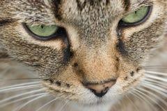 Het gezicht van de kat Stock Afbeeldingen