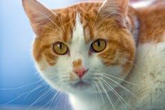 Het gezicht van de kat stock foto's