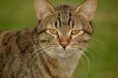 Het gezicht van de kat royalty-vrije stock afbeeldingen