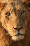Het gezicht van de leeuw Stock Afbeelding