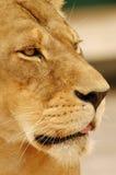 Het gezicht van de leeuw Stock Afbeeldingen