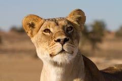 Het gezicht van de leeuw Royalty-vrije Stock Fotografie