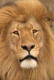 Het gezicht van de leeuw. stock fotografie