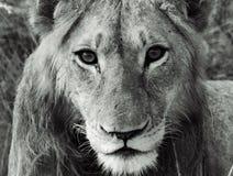 Het gezicht van de leeuw in de Afrikaanse struik Stock Foto