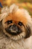 Het gezicht van de pekinees Royalty-vrije Stock Fotografie