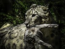 Het Gezicht van de sneeuwluipaard stock afbeeldingen