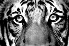 Het Gezicht van de tijger Stock Foto