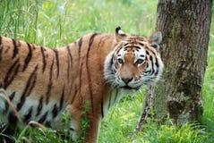 Het gezicht van de tijger royalty-vrije stock foto