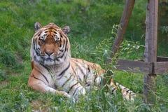 Het gezicht van de tijger Stock Afbeelding