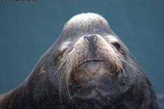 Het Gezicht van de zeeleeuw Royalty-vrije Stock Afbeeldingen