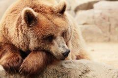 Het gezicht van een beer Stock Fotografie
