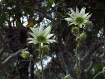 Het gezicht van flanelbloemen weg Stock Foto's