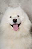 Het gezicht van gelukkig samoyed hond Royalty-vrije Stock Foto's