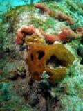 Het Gezicht van het koraal Royalty-vrije Stock Afbeelding