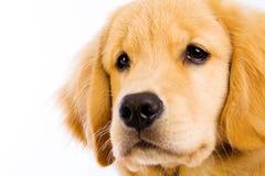 Het gezicht van het puppy stock afbeelding
