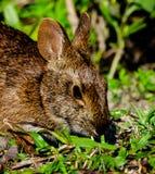 Het Gezicht van Marsh Rabbit Eating Stock Fotografie