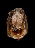 Het gezicht van monstervissen Royalty-vrije Stock Afbeelding