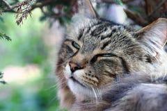 Het gezicht van ontspannen vermoeid Noors Forest Cat in de tuin Royalty-vrije Stock Afbeelding