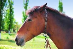 Het gezicht van het paardclose-up op een groen landschap stock foto's