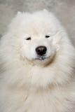 Het gezicht van samoyed hond Stock Afbeeldingen