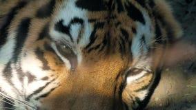 Het gezicht van tijger dichte omhooggaand stock footage