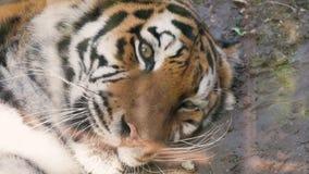 Het gezicht van tijger dichte omhooggaand stock video