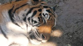 Het gezicht van tijger dichte omhooggaand stock videobeelden