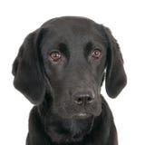 Het gezicht van zwart Labrador Royalty-vrije Stock Afbeeldingen
