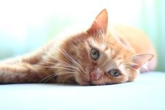 Het gezichts dichte omhooggaand van de kat Stock Afbeelding
