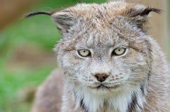 Het gezichts dichte omhooggaand van de lynx Stock Foto