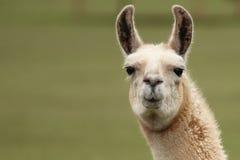 Het gezichts dichte ziet omhooggaand van de lama eruit stock afbeelding