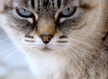 Het gezichtsclose-up van de kat Stock Afbeelding