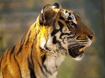 Het gezichtsclose-up van de tijger Stock Afbeeldingen