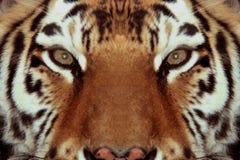Het gezichtsclose-up van tijgers Stock Fotografie