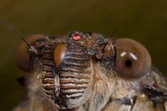 Het gezichtsschot van de cicade Stock Foto's