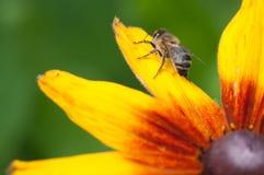 Het gezoem van bijen is de stem van de tuin, een bijenzitting op een rudbeckiahirta stock foto's