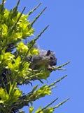 Het gezoem van de eekhoorn royalty-vrije stock afbeelding