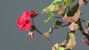 Het gezoem van de geraniumbloem uit stock video