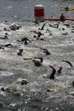Het gezonde de oefening van de triatlon triathletes sport zwemmen Royalty-vrije Stock Fotografie