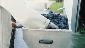 Het gieten van rijpe druiven in molen stock video