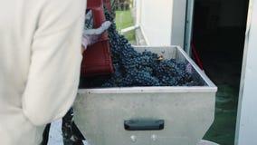 Het gieten van rijpe druiven in molen stock videobeelden