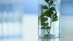 Het gietende water van de biologiewetenschapper op groen kruid in laboratoriumbuis, de kosmetiek stock video