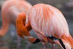 Het Gladstrijken van de flamingo stock foto