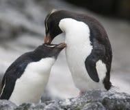 Het gladstrijken van de Pinguïnen van Rockhopper stock fotografie